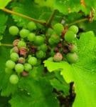 Devastated Vineyard
